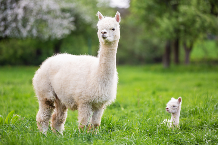animals - mother alpaca standing with baby alpaca laying down in grass field